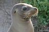 Sea Lion Profile on Española Island~Galapagos, Ecuador
