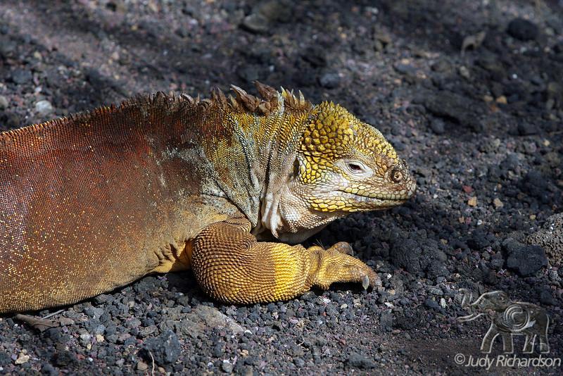 Land Iguana close up on Santa Cruz Island~Galapagos, Ecuador