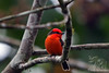 Vermillion Flycatcher on Santa Cruz Island in Highlands~Galapagos, Ecuador