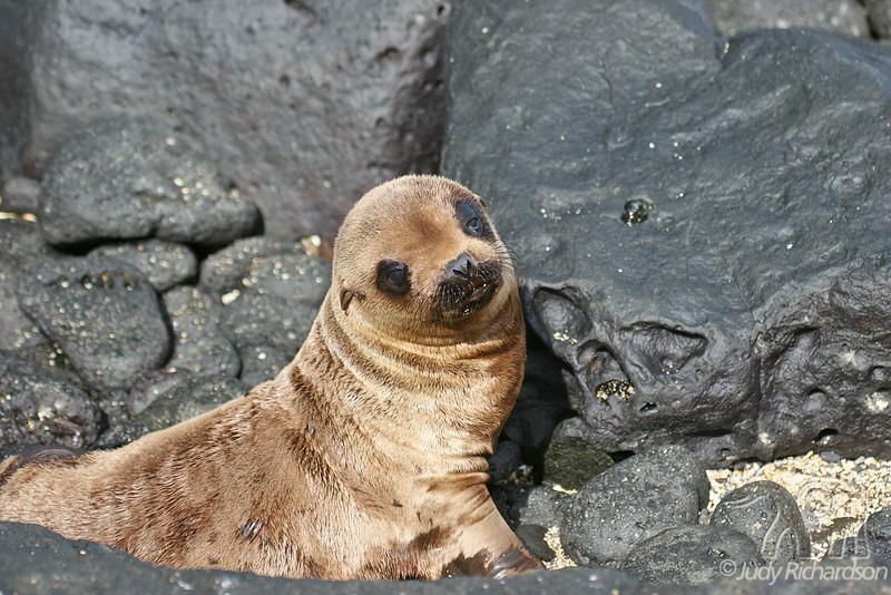 Baby Sea Lion on Santiago Island~Galapagos, Ecuador