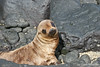 Baby Sea Lion on Santiago Island~Galapagos, Ecuador