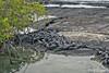 Marine Iguana pile at Punta Espinoza on Fernandina Island~Galapagos, Ecuador