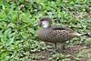 Galapagos Pintail Duck on Santa Cruz Island Highlands~Galapagos, Ecuador