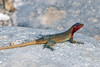Española Lava Lizard on Española Island~Galapagos, Ecuador