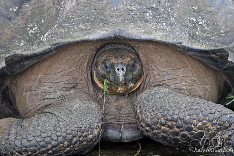 Giant Tortoise pulling head in on Santa Cruz Island Highlands~Galapagos, Ecuador