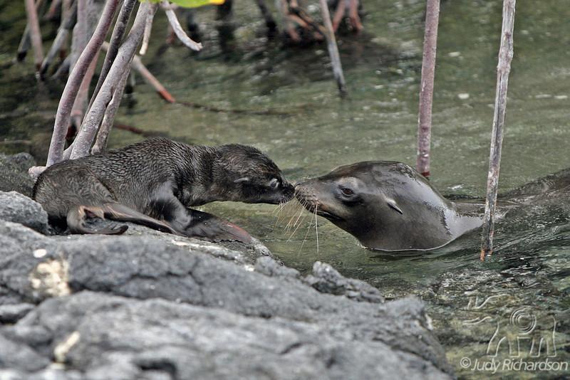 Sea Lion Cub & Mama greeting each other at Punta Espinoza