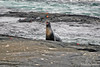 Sea Lion Calling Cub at Punta Espinoza