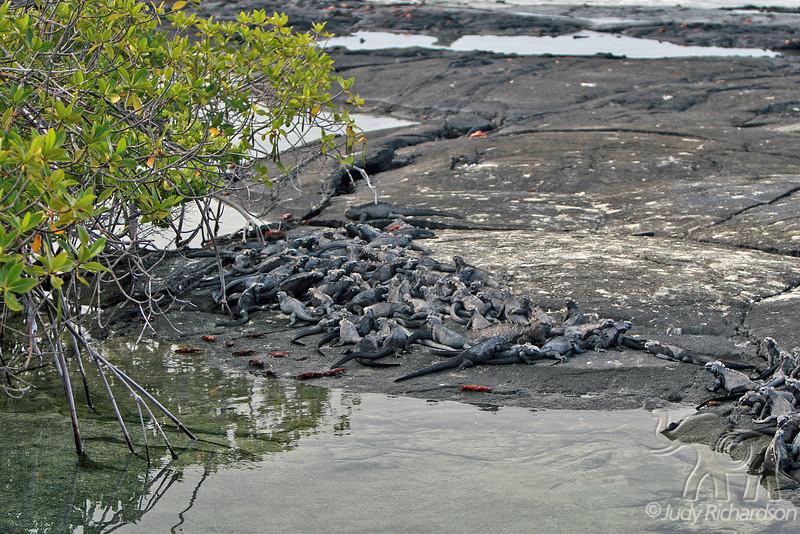 Large Marine Iguana Pile at Fernandina Island