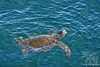 Green Sea Turtle off Xpedition Ship at Fernandina Island