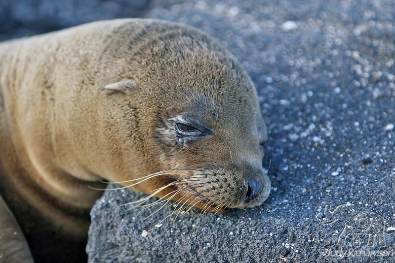 Sea Lion Resting Head on Rock at Punta Espinoza