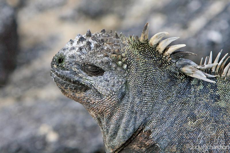 Marine Iguana Close-up at Fernandina Island