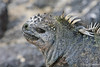 Marine Iguana Close-up at Fernandina Island