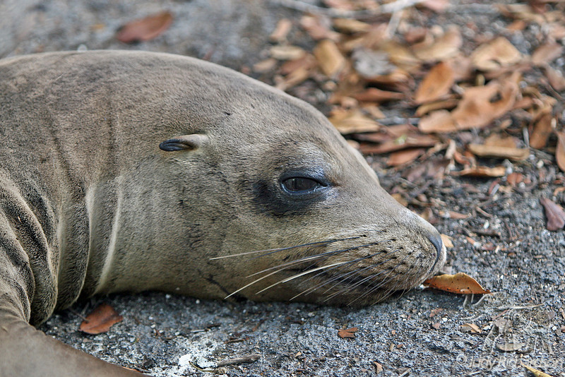 Sea Lion Head at Fernandina Island