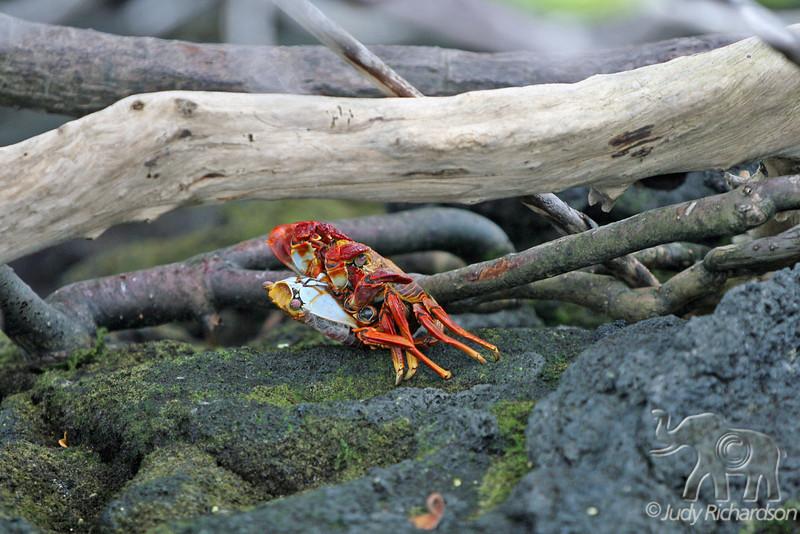 Sally Lightfoot Crabs mating at Fernandina Island