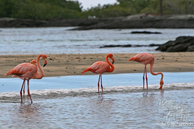 Greater Flamingos at Floreana Island