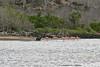Sea Lion with Greater Flamingos at Floreana Island
