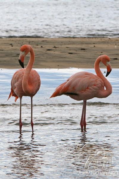 2 Greater Flamingo at Floreana Island