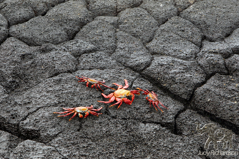4 Sally Lightfoot crabs