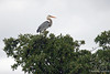 Great Blue Heron in tree at Floreana Island