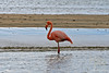 Flamingo at Floreana Island