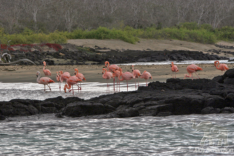 Greater Flamingo group at Floreana Island