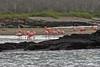 Greater Flamingo group at Floreana Island
