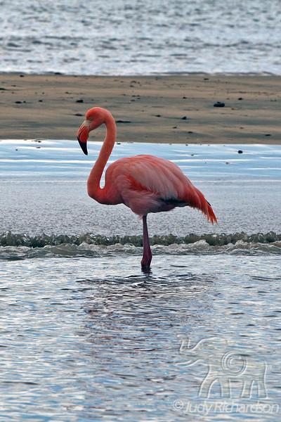 Greater Flamingo close-up at Floreana Island