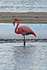Greater Flamingo close-up at Floreana Island