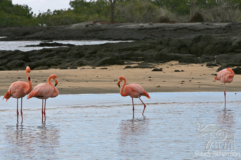Greater Flamingos in various positions at Floreana Island