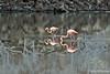 Pink Flamingos at Cormorant Point~Floreana Island