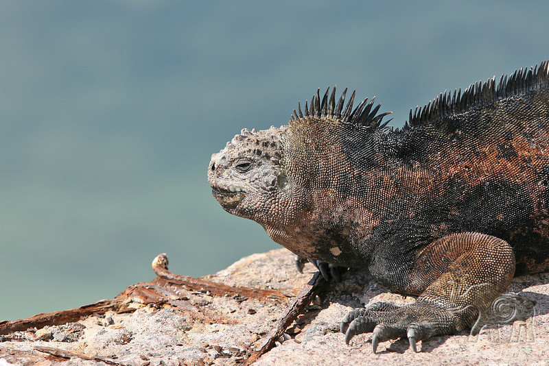Marine Iguana close up on Santa Cruz Island~Galapagos