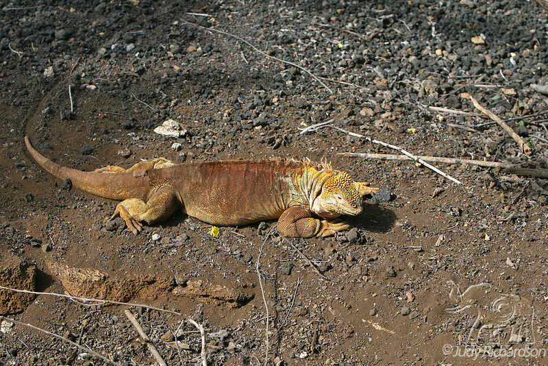 Land Iguana crawling at Darwin Center~Santa Island~Galapagos