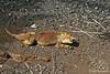 Land Iguana crawling at Darwin Center~Santa Island~Galapagos