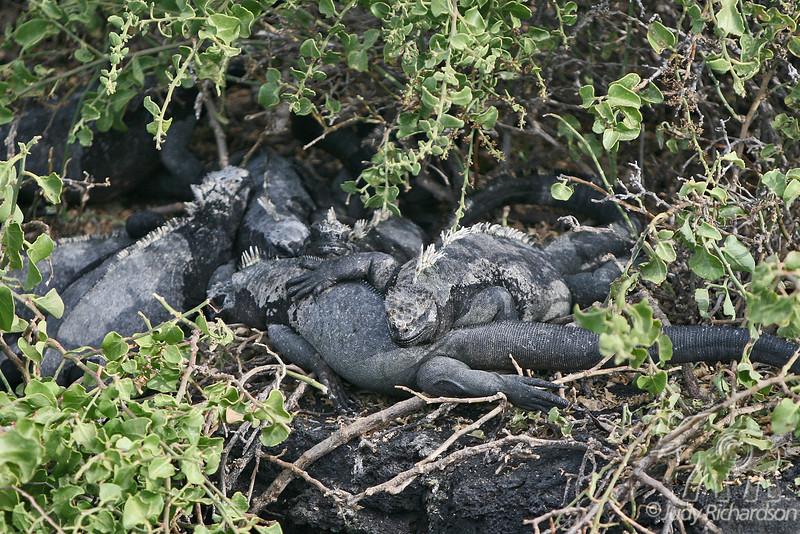 Pile of Marine Iguanas on Fernandina Island~Galapagos