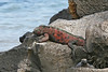 Colorful Marine Iguana on Espanola Island~Galapagos