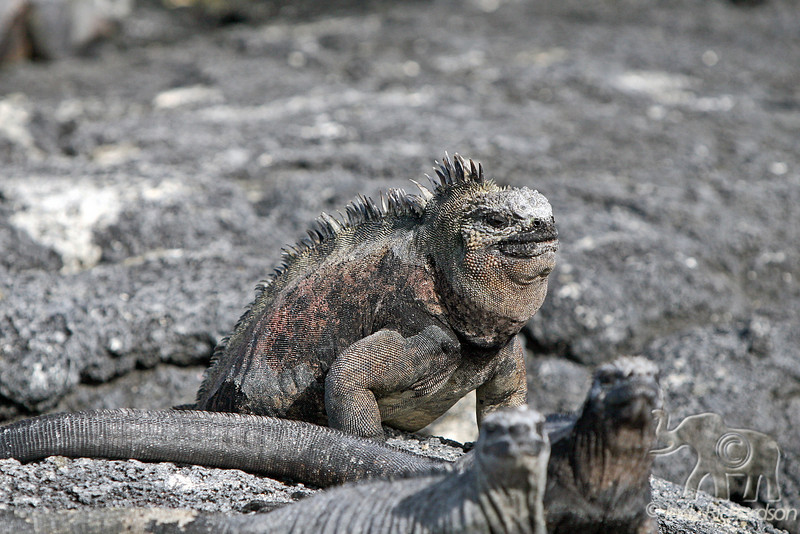 Marine Iguana with salt patch on Fernandina Island~Galapagos