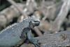 Large Marine Iguana on Fernandina Island~Galapagos