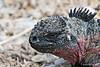 Marine Iguana close up on Espanola Island~Galapagos