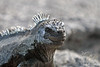 Marine Iguana close up on Fernandina Island~Galapagos