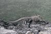 Marine Iguana on Santiago Island~Galapagos