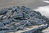 Large pile of Marine Iguanas on Fernandina Island~Galapagos