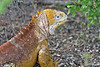 Land Iguana at Dragon Hill~northern end of Santa Cruz Island