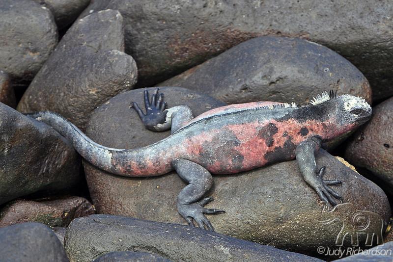 Marine Iguanas on Espanola Island~Galapagos