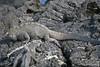Marine Iguana on Fernandina Island~Galapagos