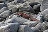 Marine Iguana on Espanola Island~Galapagos
