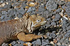 Land Iguana on Isabela Island~Galapagos