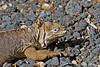 Land Iguana on Isabela Island~Galapagos