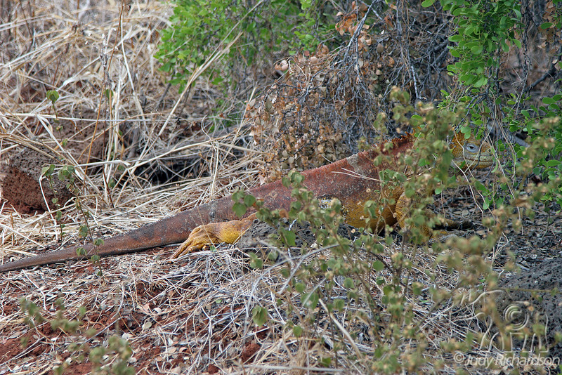 Land Iguana under brush at Dragon Hill~northern end of Santa Cruz Island