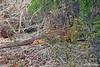 Land Iguana under brush at Dragon Hill~northern end of Santa Cruz Island