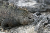 Marine Iguana close up on Fernandina Island~Galapagos